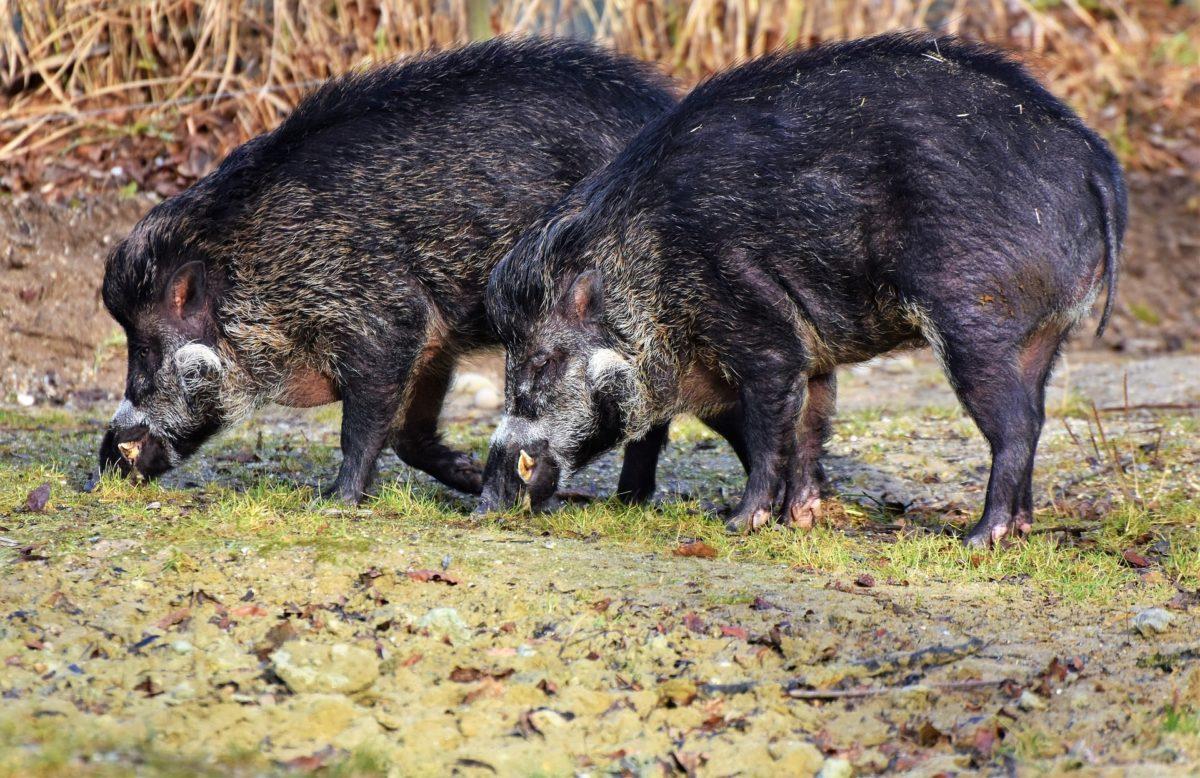 Wild boar sausage Vada   Brioche Paav   green chutney